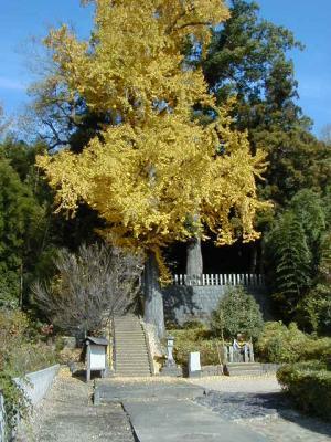 20下津久礼日吉神社の銀杏02