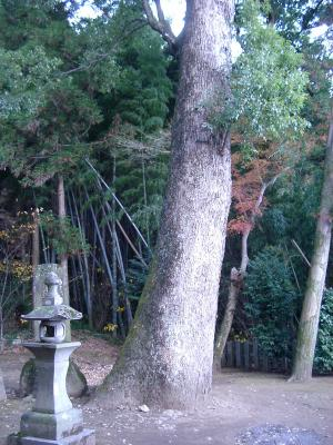 19下津久礼日吉神社の楠