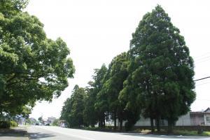 豊後街道菊陽杉並木